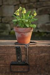 Echte Schlüsselblume (Primula veris) und Holztruhe