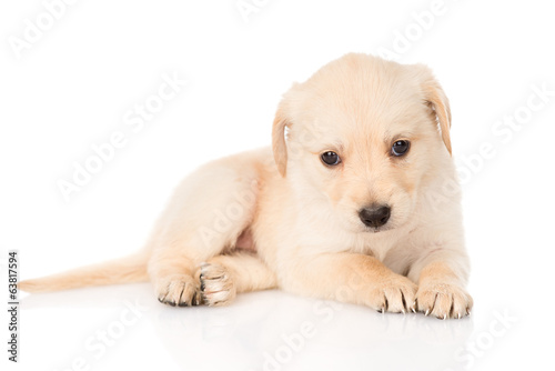 golden retriever puppy dog. isolated on white background