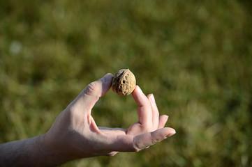 Walnuts in man hand