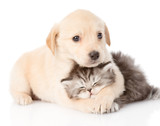 golden retriever puppy dog hugging british cat. isolated