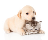 golden retriever puppy dog and british cat together. isolated  - 63818329