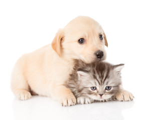 golden retriever puppy dog and british cat together. isolated