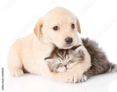 Poster golden retriever puppy dog hugging british cat. isolated