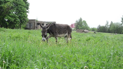 donkey animal tied with chain graze in pasture grass