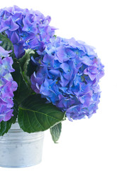 posy of blue hortensia flowers close up
