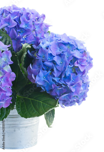 posy of blue hortensia flowers close up