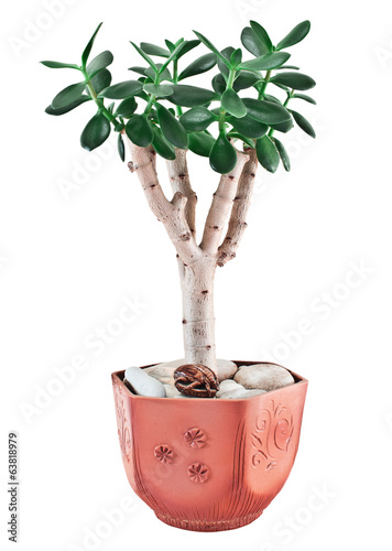 crassula ovata or jade plant in flower pot