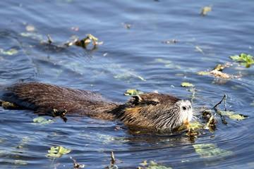 ragondin nageant sur l'étang