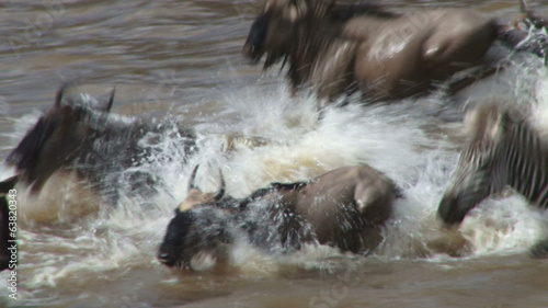Close up of wildebeests crossing mara river