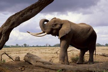 elefante africano adulto con grosse zanne maschio dominante