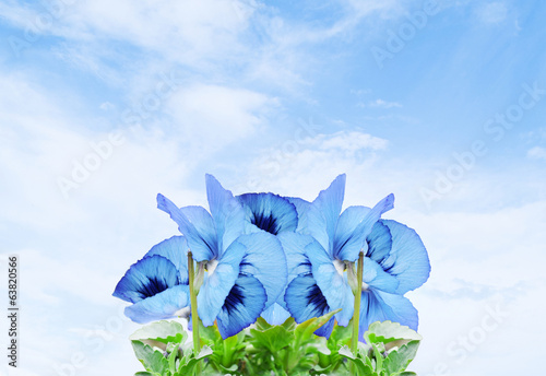 beautiful blue violets on sky background