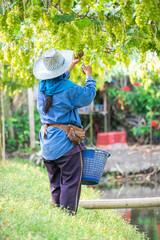 picks green grapes