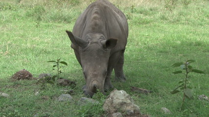 A white rhino grazing in the wild
