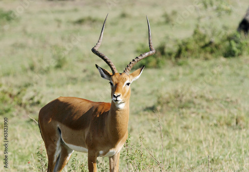 A beautiful Impala staring at camera