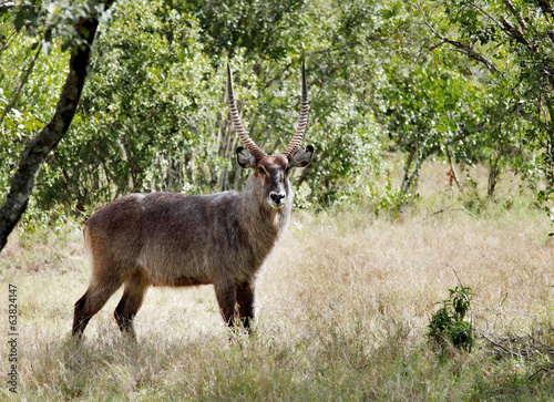 A beautiful Waterbuck in the grassland of Ol Pejeta Conservancy