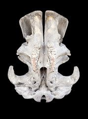 Rhino skull