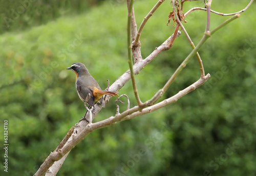 A beautiful Cape Robin-Chat bird, Kenya