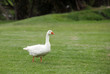 A beautiful white duck
