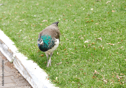 A beautiful Peahen on the grass