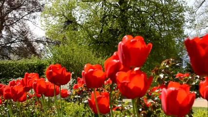 Tulpen Wind Garten Wiese windig