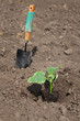 Agriculture, cucumber plant in spring in field with shovel