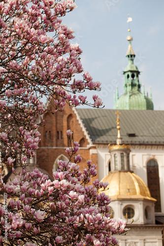 magnolie na Wawelu - 63827987