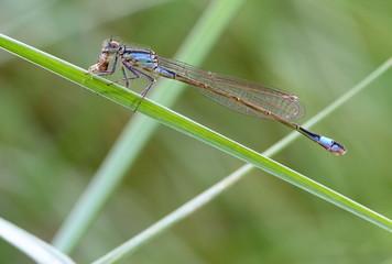 damigella libellula
