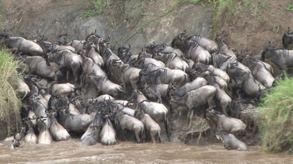 stranded wildebeests unable to climb out of the river
