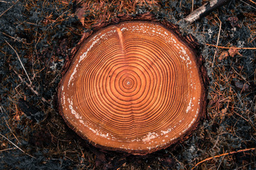 Tree rings on a cutted log in a conifer forest after logging
