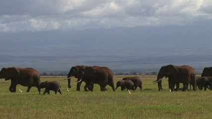 Elephant family migrating