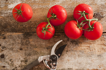Garden fresh tomatoes with pruning shears