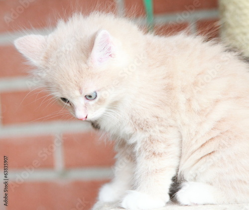 cream puppy of siberian cat, one month