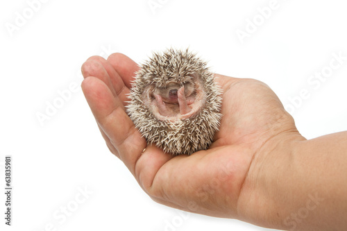 baby pygmy hedgehog