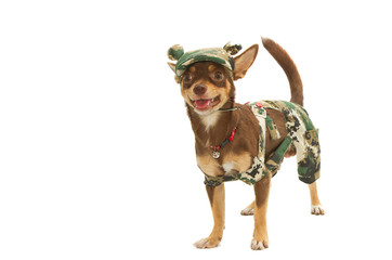 chihuahua in a soldier uniform