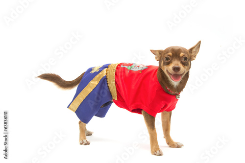 chihuahua in Thai boxing (muay Thai) uniform