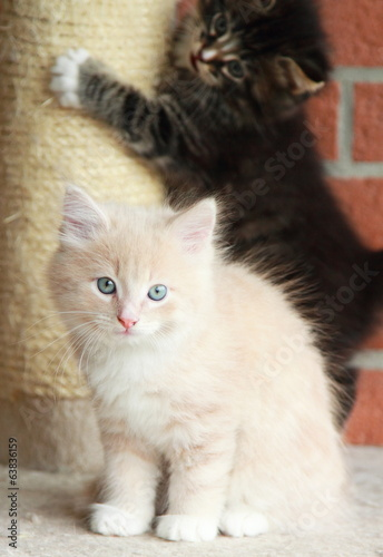 puppies of siberian cat,playing