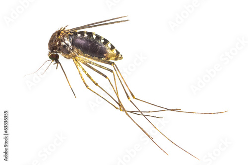 Mosquito full of blood isolated