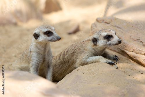 group of meerkat