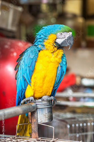 Yellow and blue macaw at Yuen Po Street bird market, Hong Kong