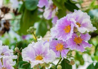 PinkQueen's crape myrtle flower.