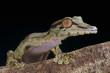 Giant leaf-tailed gecko / Uroplatus fimbriatus