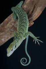 Biak Tree Monitor / Varanus kordensis
