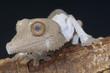 Henkel's leaf-tailed gecko / Uroplatus henkeli