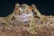 Curious lizard / Uroplatus fimbriatus