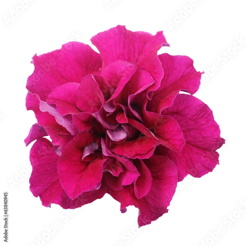 Purple petunia isolated on white background