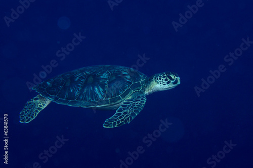 A sea Turtle portrait close up while looking at you