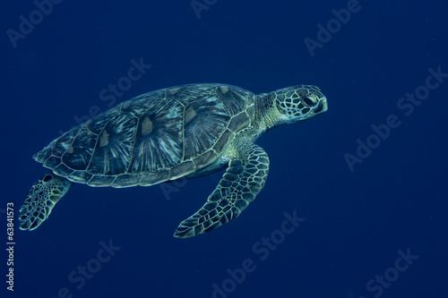 Poster Schildpad A sea Turtle portrait close up while looking at you