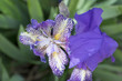 canvas print picture - Iris - 372