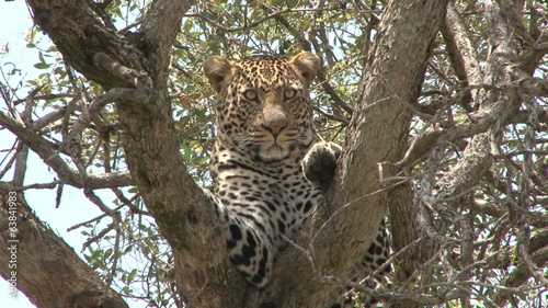 A leopard resting on a tree, facing the camera