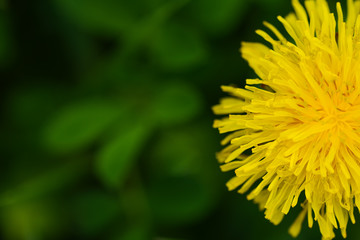 Yellow dandelion and grass on a spring day